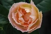 Englische Rosen - Coniston (Comtes de Champagne)