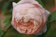 Englische Rosen - St. Cecilia