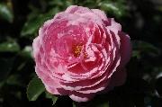 Rosen von Weihrauch - Schöne Elise