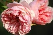 Rosen von Weihrauch - Friedrich Chrysander