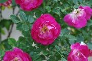 Rosen von Weihrauch - Therese