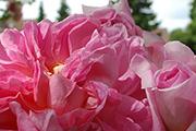 Rosen von Weihrauch - Sophie Charlotte