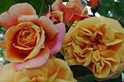 Rosen von Weihrauch - Stadt Hockenheim