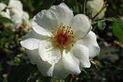 Rosen von Weihrauch - Heimat