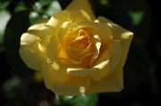 Rosen von Weihrauch - Goldene Heimat 05
