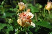 Rosen von Weihrauch - Tante Mitzi