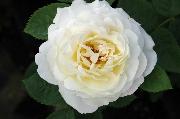 Rosen von Weihrauch - Wetterauer Sommer