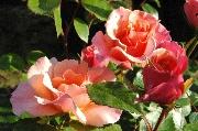 Rosen von Weihrauch - Sommerpoesie