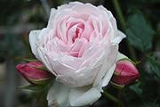 Rosen von Weihrauch - Marie Helene