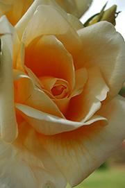 Rosen von Weihrauch - Weihrauchs Moonlight Serenade