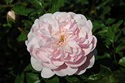 Rosen von Weihrauch - Märchenfee