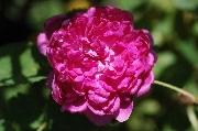 Rosa Centifolia Muscosa - Mme. de la Roche-Lambert