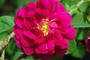 Rosa Centifolia Muscosa - Henri Martin