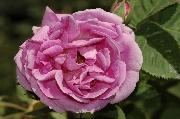 Rosa Borbonica - Bourbon Queen
