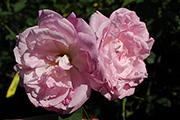 Rosa Borbonica - Pierre de St. Cyr
