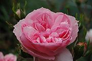 Rosen von Weihrauch - Erinnerung an Krickerhau  (Souvenir de Handlova)