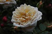 Rosen von Weihrauch - Henryke