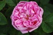 Rosa Centifolia Muscosa - Sophie de Marsilly