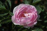 Rosa Alba - Céleste