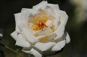 Rosen von Weihrauch - Haldensleben