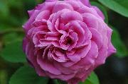 Rosa Borbonica - Heroine de Vaucluse
