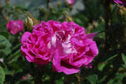 Rosa Centifolia Muscosa - William Lobb ('Old Velvet Moss')