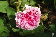 Rosa Centifolia Muscosa - Salet