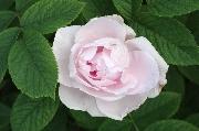 Rosen von Weihrauch - Königin von Russland