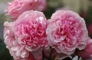Rosen von Delbard - Eckart Witzigmann