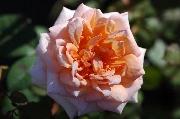 Rosen von Delbard - Belle du Seigneur