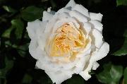 Englische Rosen - Crocus Rose (Emanuel)
