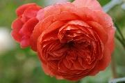 Englische Rosen - Summer Song