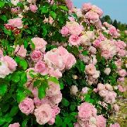 Rosen von Delbard - Billet doux