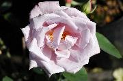 Rosen von Delbard - La Rose du Petit Prince