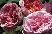 Rosa Generosa von Guillot - Amandine Chanel