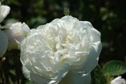 Rosa Damascena - Mme. Hardy