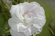 Rosa Damascena - Quatre Saisons Blanc Mousseux