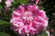 Rosa Damascena - Trigintipetala ('Rose von Kazanlik')