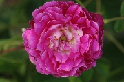 Rosa Gallica - Aimable Rouge