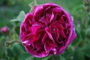 Rosa Gallica - Charles de Mills