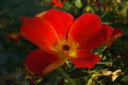 Rosa Lutea - Foetida Bicolor