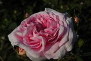Rosa Alba - Königin von Dänemark (Reine du Danemark)