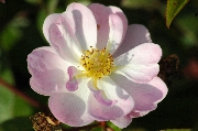Rosa Moschata - Queen of the Musk