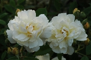 Rosa Moschata - Thisbe