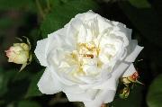 Polyantharosen - Weiße Gruß an Aachen