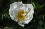 Rosa Alba - Semiplena
