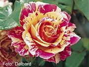 Rosen von Delbard - Claude Monet