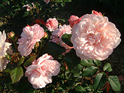 Polyantharosen - Rosa Gruß an Aachen