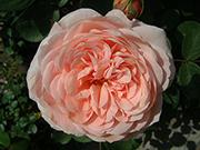 Englische Rosen - AUSlea