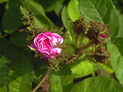 Rosa Centifolia Muscosa - Muscosa